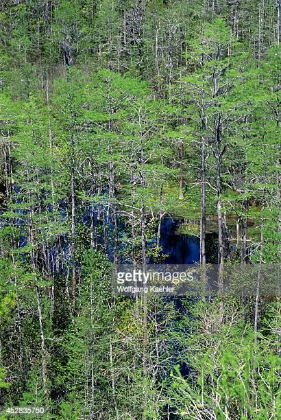 USA Georgia Okefenokee Swamp Park Cypress And Pine Trees