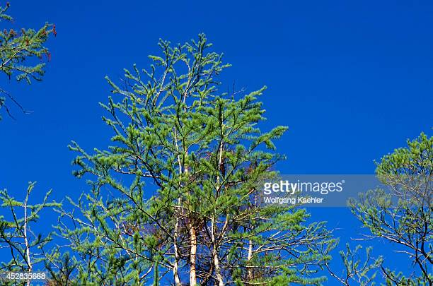 USA Georgia Okefenokee Swamp Park Cypress Tree
