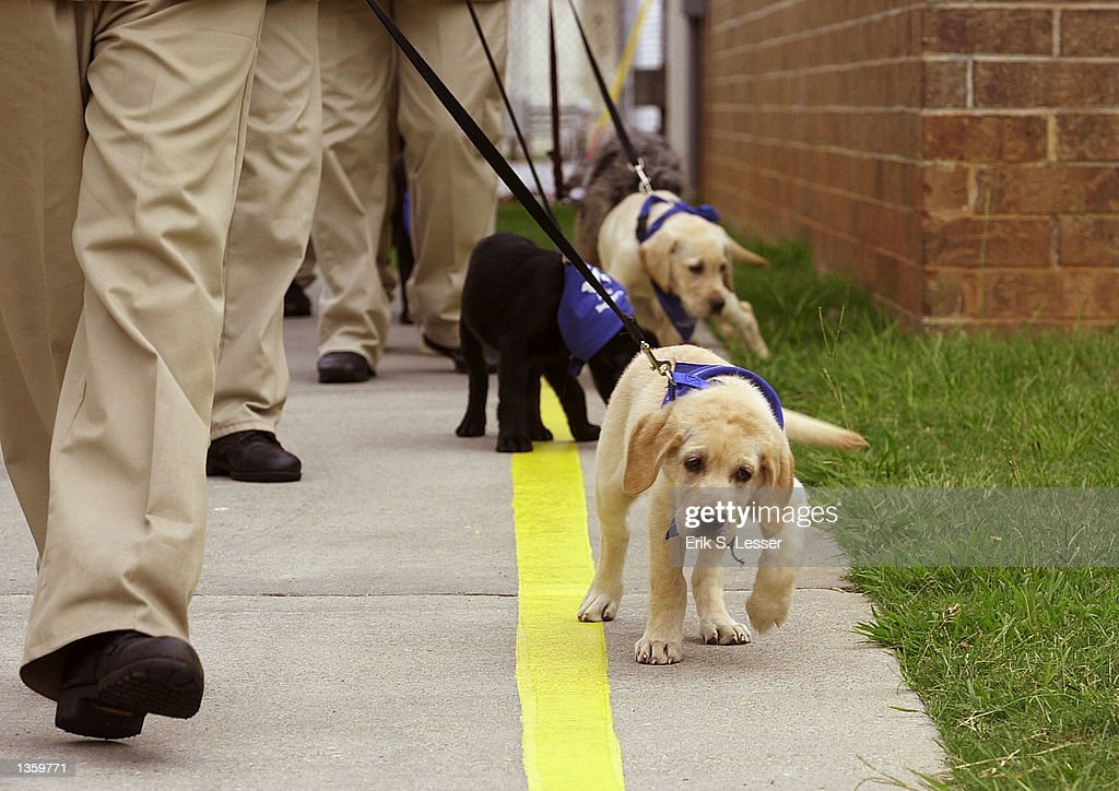 inmate guide dog training pictures getty images rh gettyimages com Golden Retriever Guide Dogs Service Dog Training