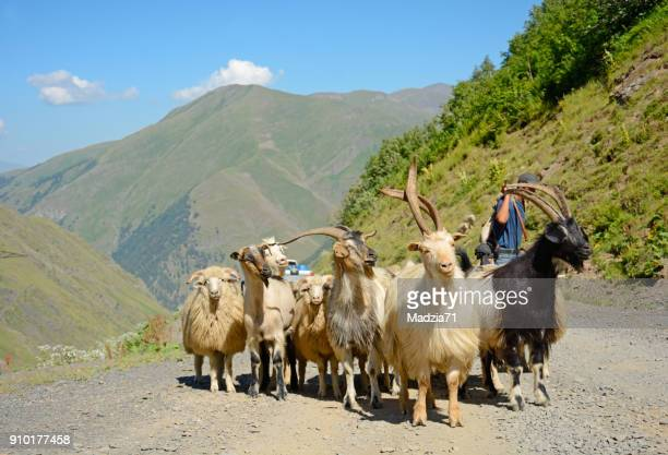 Georgian sheeps and goats