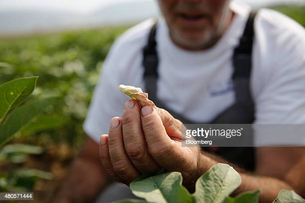 Georgics Drossos a farmer holds a dead petal a sign of his cotton crop growing on his cotton farm in Farsala Greece on Friday July 10 2015 Greece has...