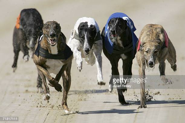 Georgie Boy, Kirstys Touch, Grays Typhoon and Fiddlers Brownie race down to the first bend in race 7 at Hove Greyhound Stadium on June 28, 2006 in...