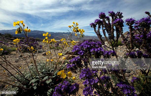 Geraea_canescens and Phacelia_crenulata offer a color wash across the desert floor during rare 'super bloom' of wildflowers off Highway 190 in Death...