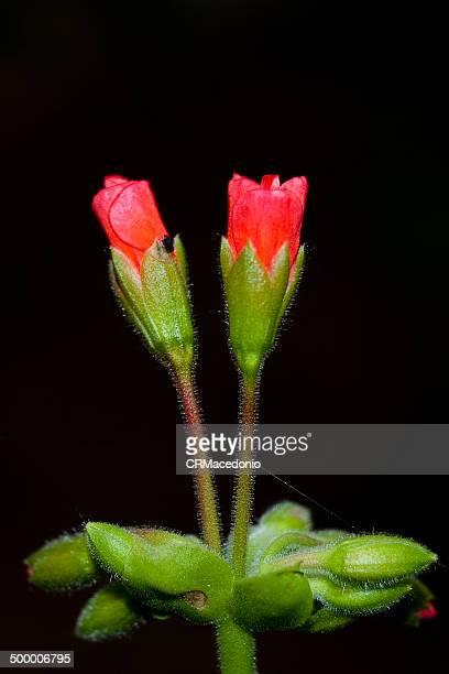 geranium flower - crmacedonio stock-fotos und bilder