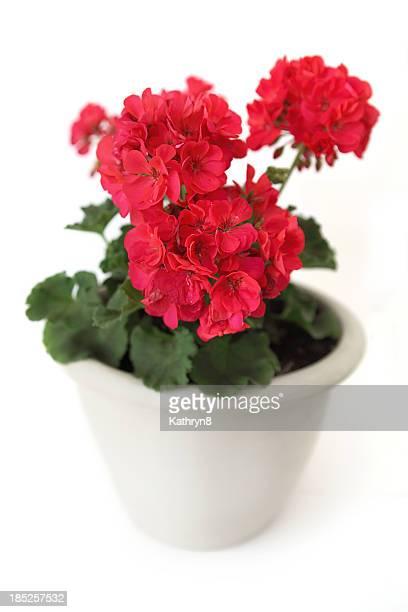 Geranium Flowers on Red