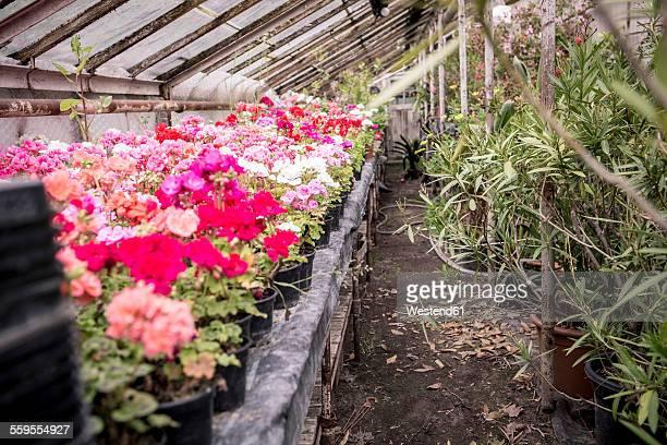 Geranium in greenhouse of a plant nursery
