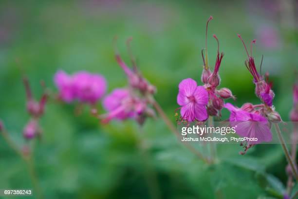 geranium macrorrhizum 'bevan's variety' - midsommarblomster bildbanksfoton och bilder