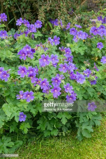 geranium magnificum (hardy geranium) - midsommarblomster bildbanksfoton och bilder