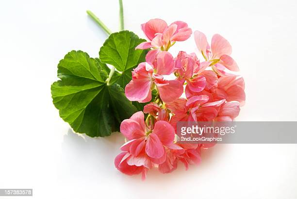 geranium on white background - geranium stock pictures, royalty-free photos & images