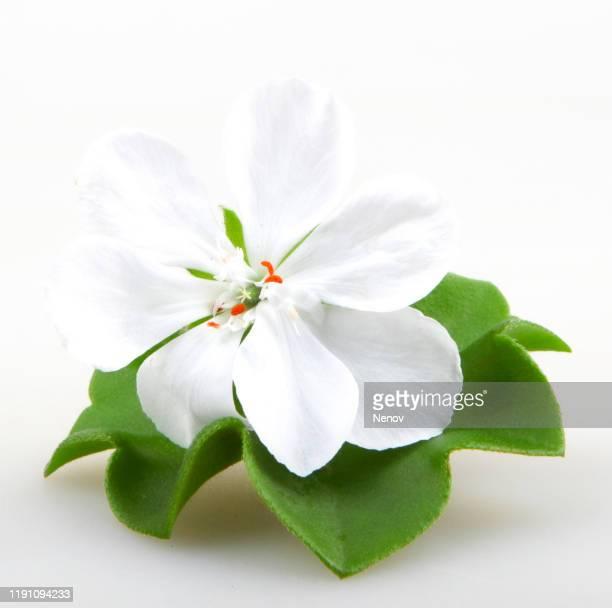 geranium pelargonium flowers against white background - midsommarblomster bildbanksfoton och bilder