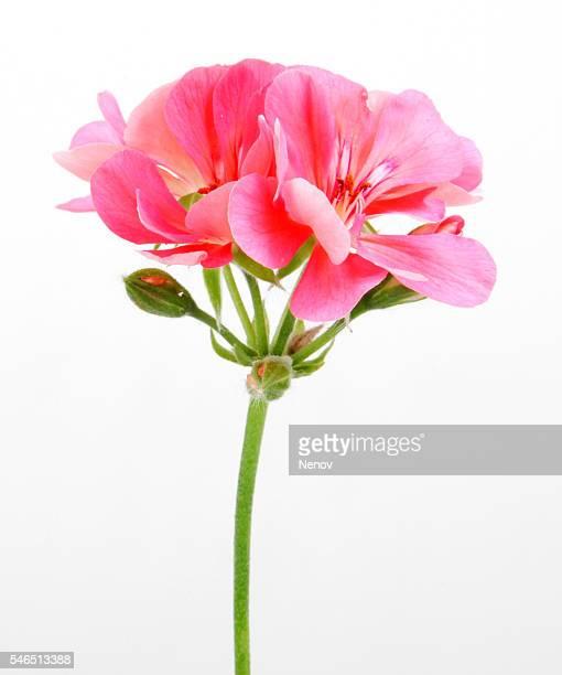 geranium pelargonium flowers - midsommarblomster bildbanksfoton och bilder