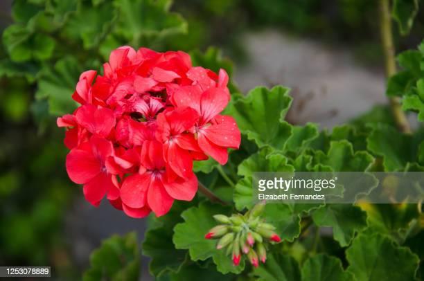 geranium pelargonium in bloom - midsommarblomster bildbanksfoton och bilder