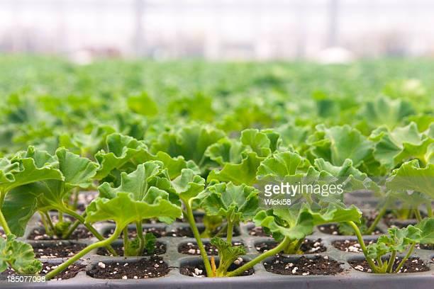 Geranium Seedlings in Greenhouse