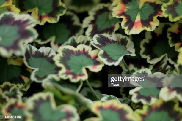 geranium variegated leaves - bicolore photos et images de collection