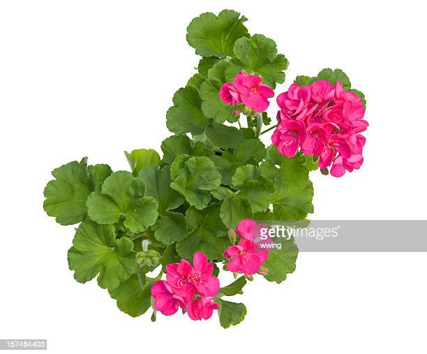 geranium with clipping path - geranium stock pictures, royalty-free photos & images