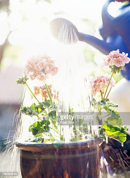 Geraniums being watered.