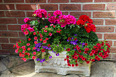 trough full bright pink red geraniums