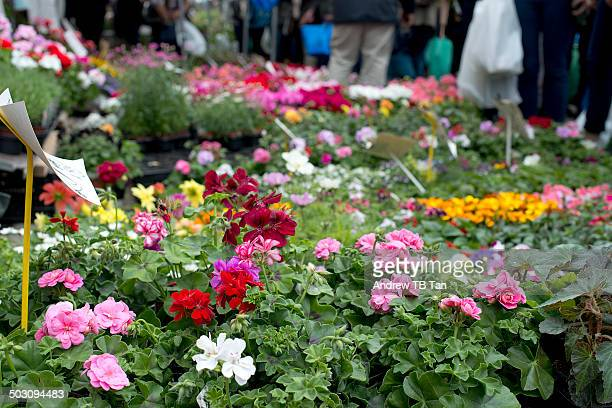 Geraniums for sale at flower market