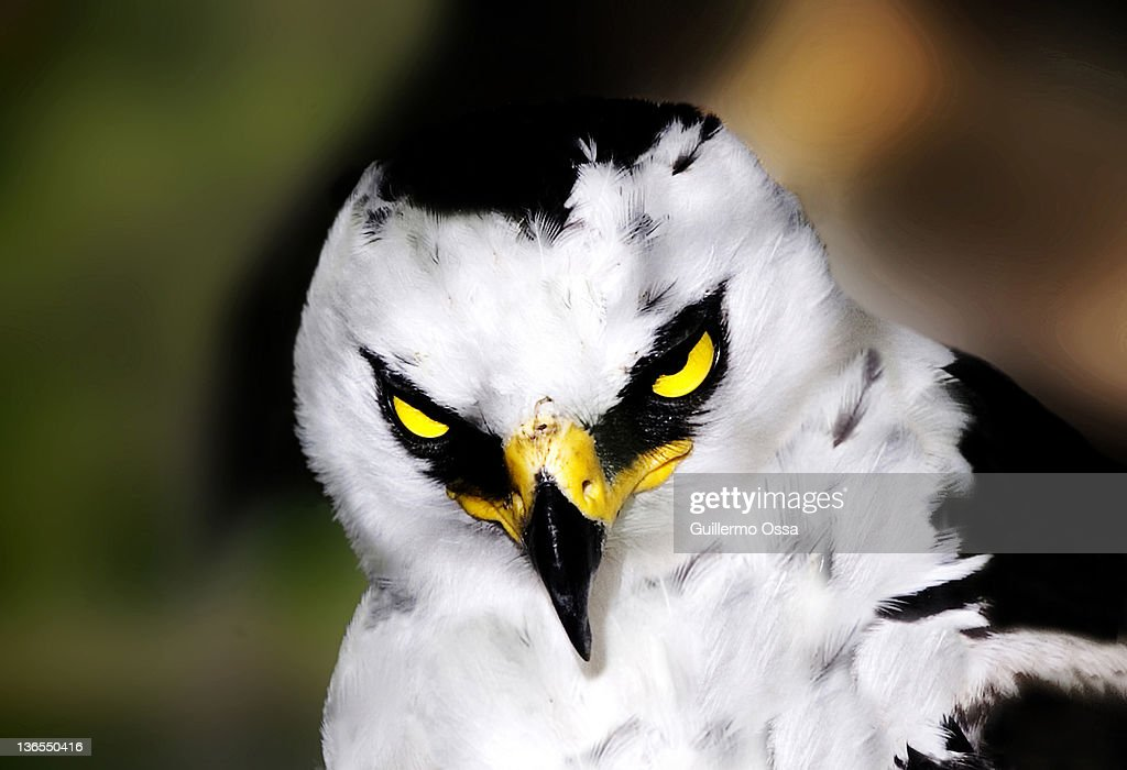 Black Chested Buzzard Eagle Stock Photos and Pictures | Getty Images