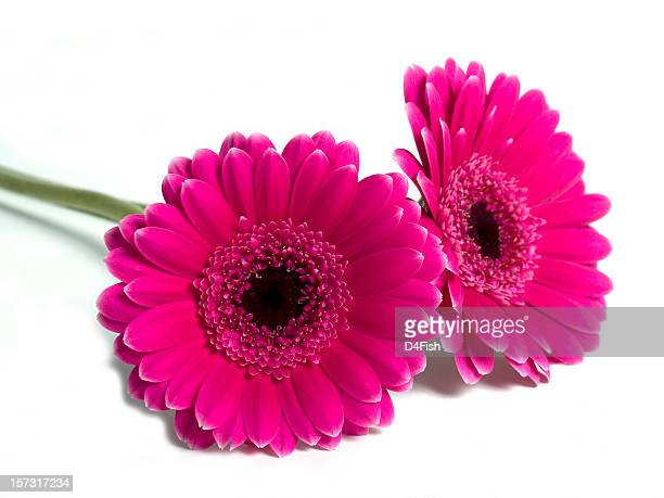 gerber (gerbera) daisies - gerbera daisy stock pictures, royalty-free photos & images