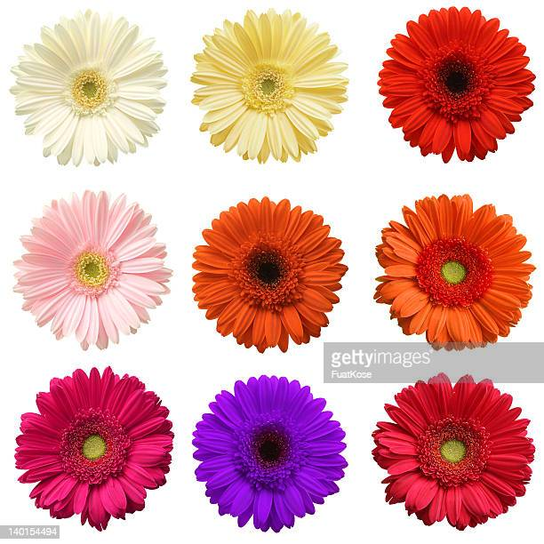 gerber daisy collection - gerbera daisy stock pictures, royalty-free photos & images