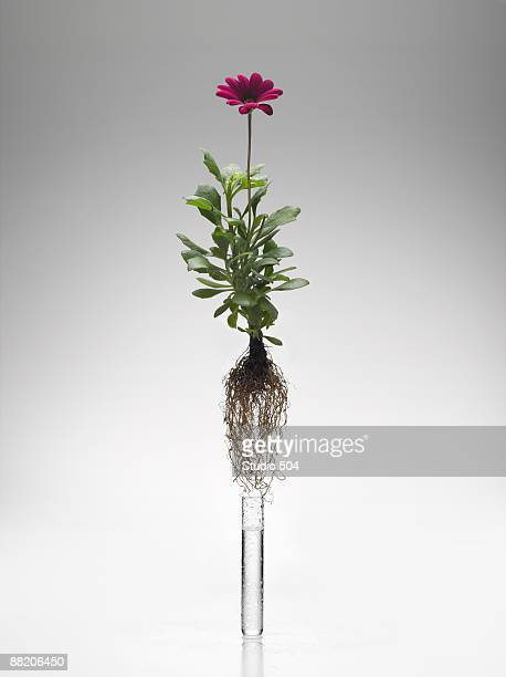 Gerber Daisy coming out of test tube with roots