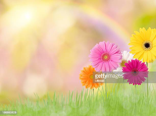 Gerbera Daisies in a Field with Rainbow