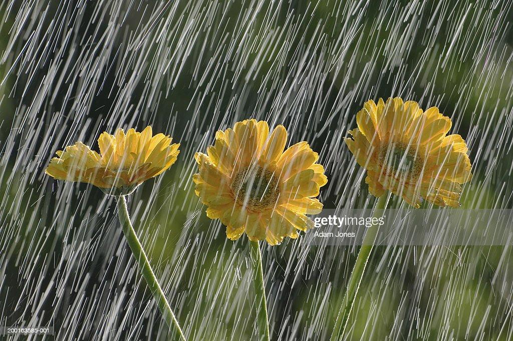 Gerbera daisies (Gerbera jamesonii) in rain