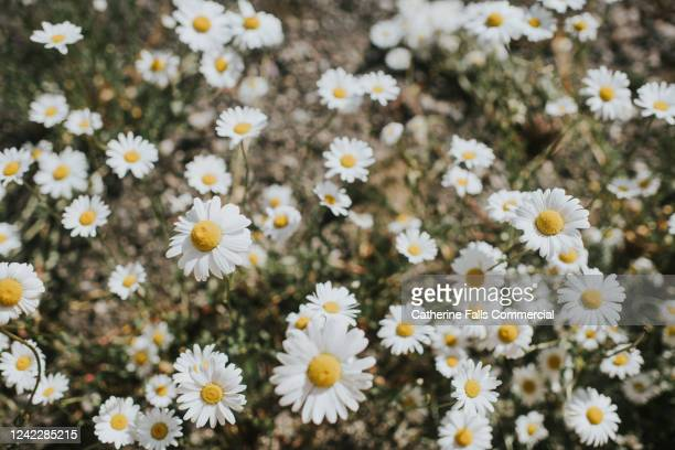 gerbera daisies - uncultivated stock pictures, royalty-free photos & images