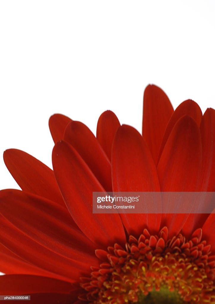 Gerbera daisy, close-up : Stockfoto
