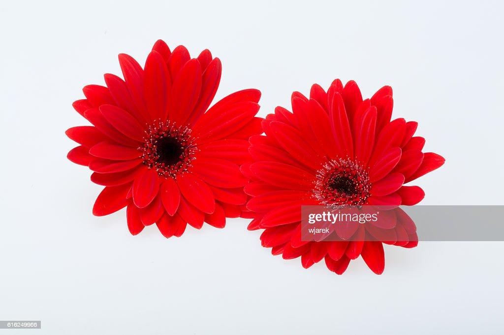 gerbera daisy flower : Stock Photo