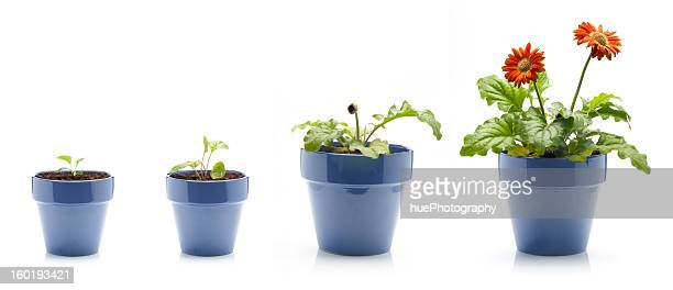gerbera daisy growing - pot plant stock pictures, royalty-free photos & images