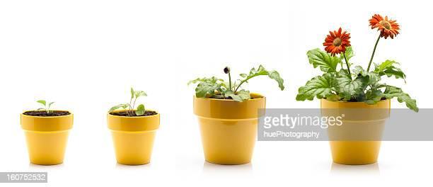 gerbera daisy growing - gerbera stock pictures, royalty-free photos & images
