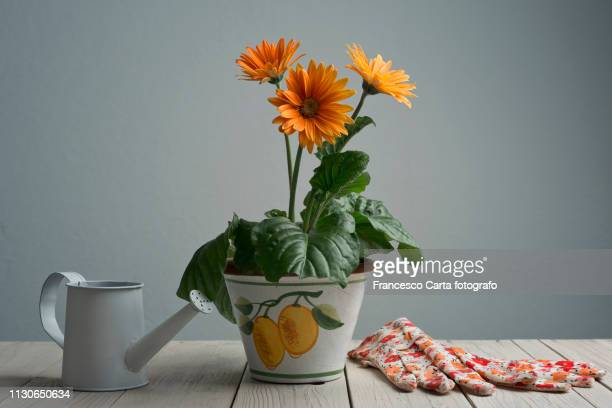 gerbera daisy - gerbera daisy stock pictures, royalty-free photos & images