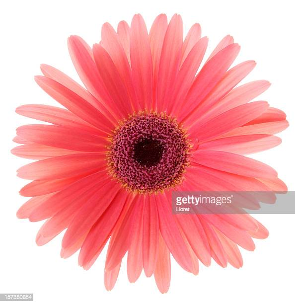 gerbera daisy (xl) - gerbera daisy stock pictures, royalty-free photos & images