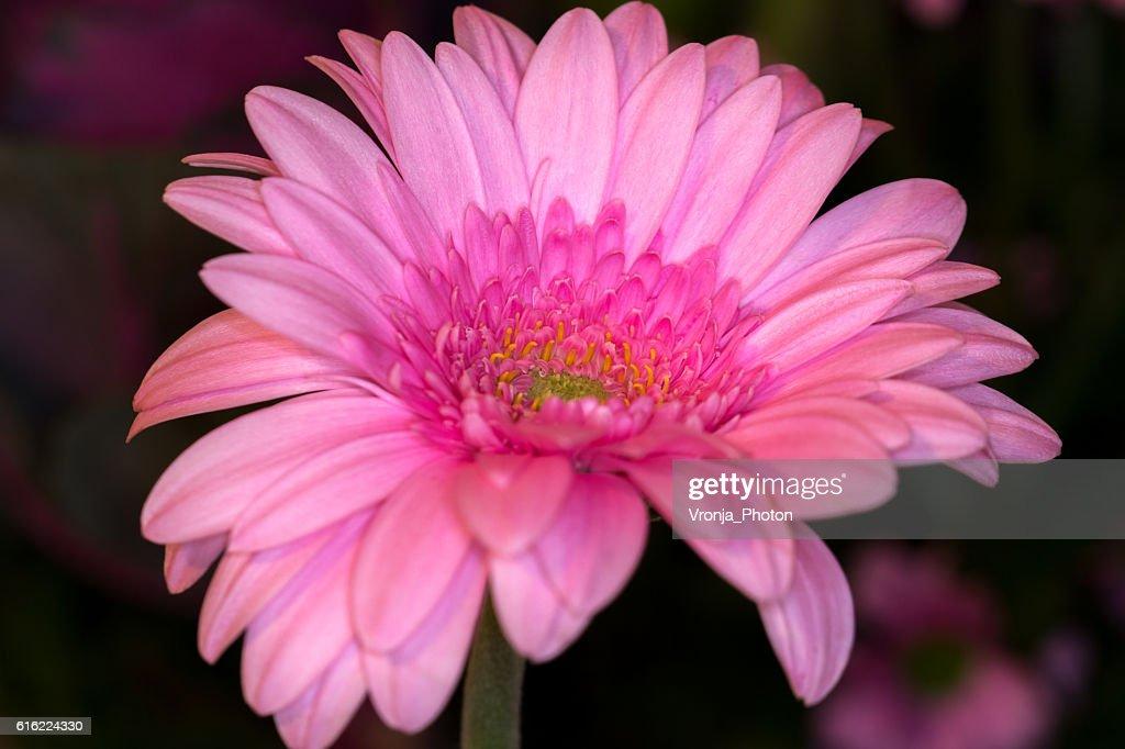 Gerbera daisy : Stock-Foto