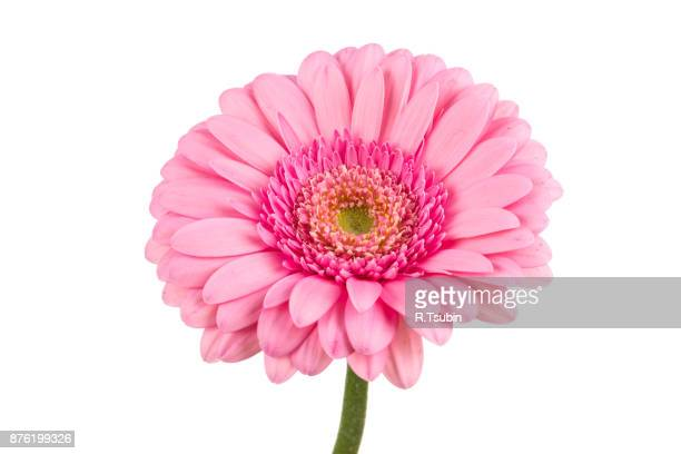 gerbera flower blossom - gerbera daisy stock pictures, royalty-free photos & images