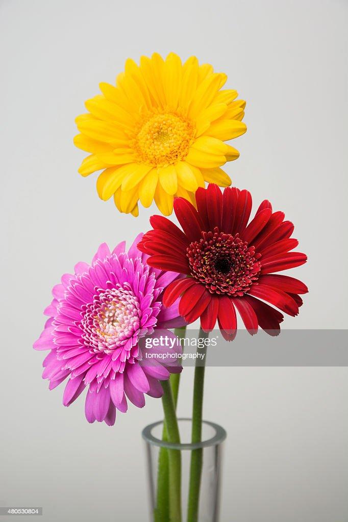Fleur de Gerbera : Photo
