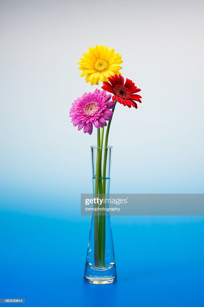 Gerbera flower : Stock Photo