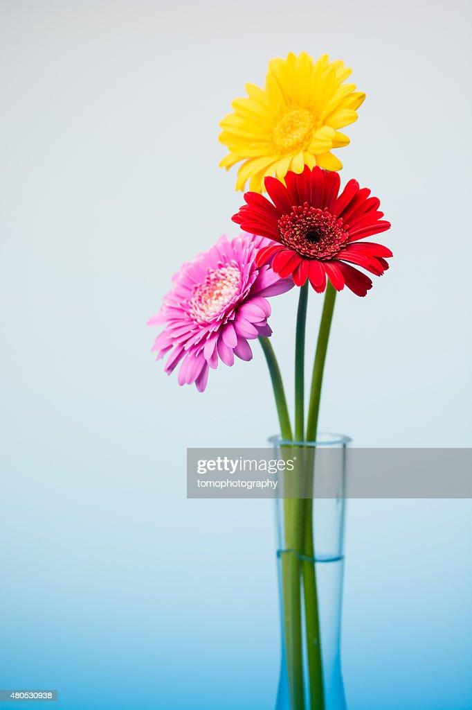 ガーベラ花 : ストックフォト
