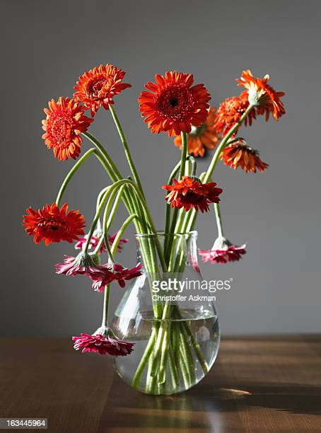 gerbera flowers in a vase - wilted plant stock pictures, royalty-free photos & images