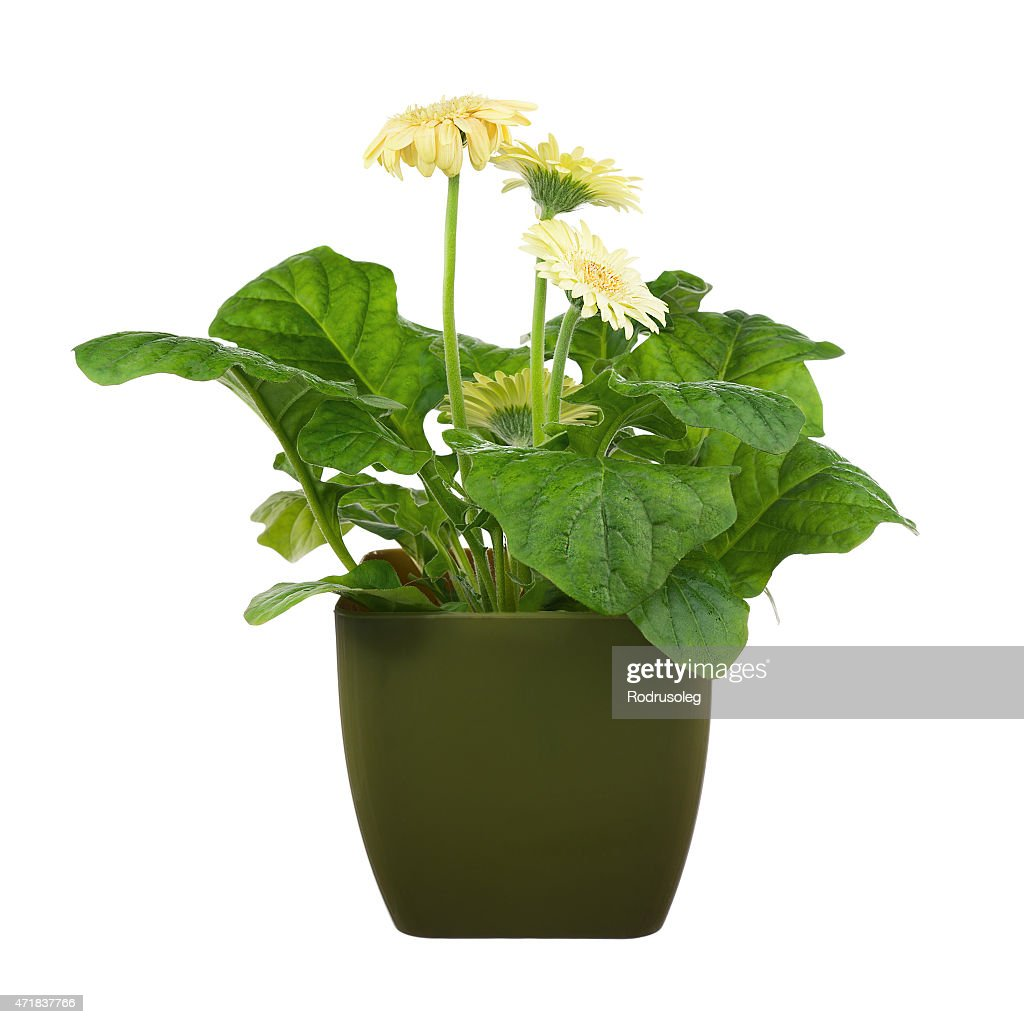 Gerbera Flowers In Dark Green Pot Isolated On White Background Stock