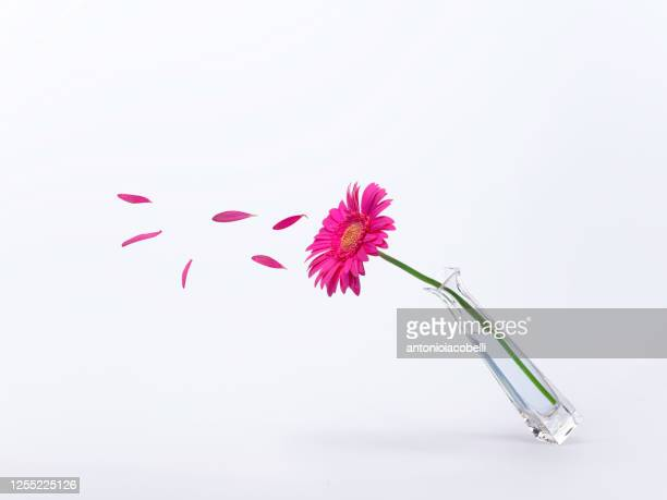 gerbera in a vase with flower petals flying off - petal stock pictures, royalty-free photos & images