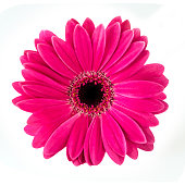 Gerbera isolated against white background