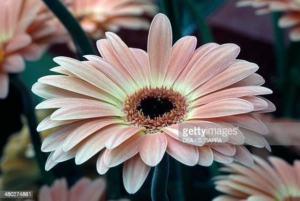 Gerbera or African Daisy Asteraceae