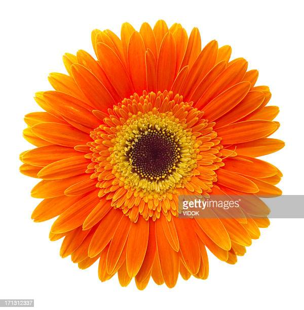 gerbera - gerbera daisy stock pictures, royalty-free photos & images