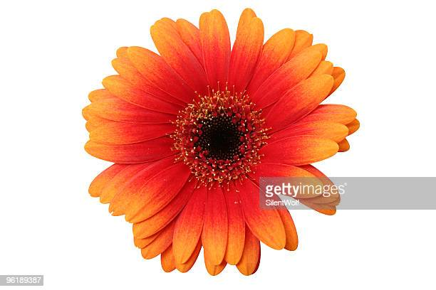 Gerbera (with clipping path)