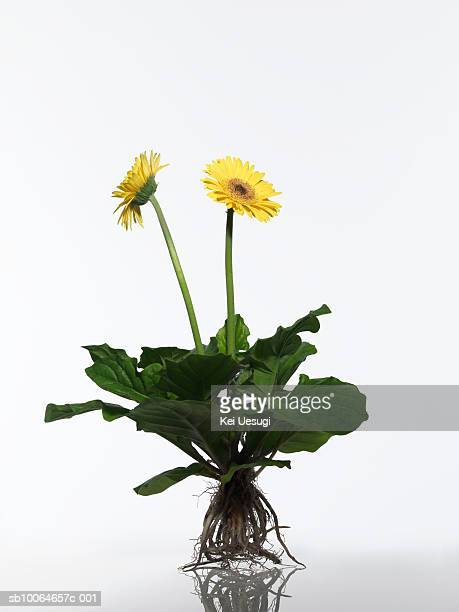 Gerbera plant on white background