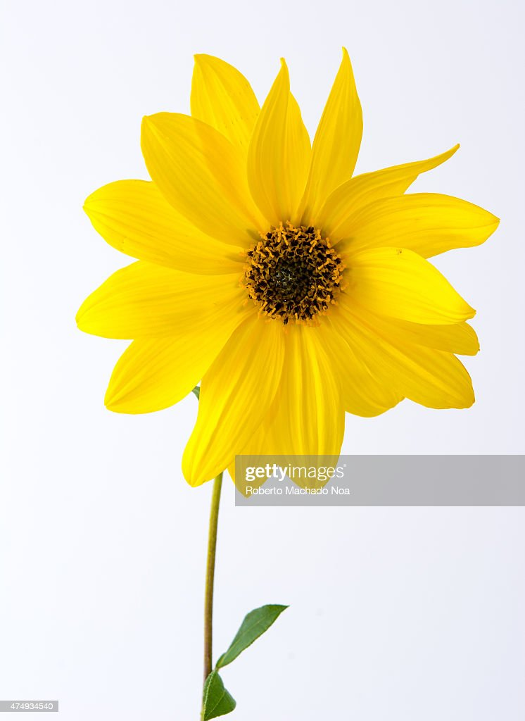gerbera yellow flower with single leaf plain white pictures