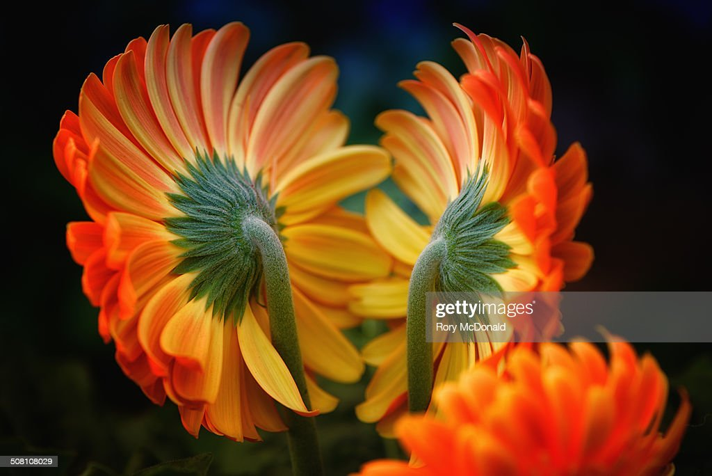 Gerberas Back to Back : Stock Photo